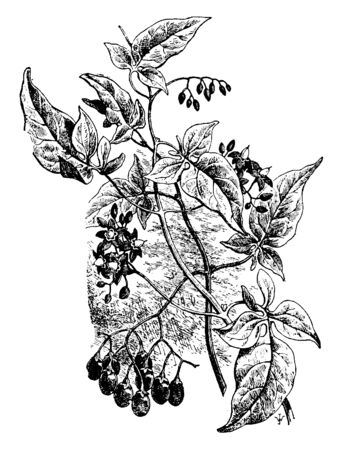 A picture is showing Solanum Dulcamara. It is also known as Bittersweet. It belongs to Solanaceae family and native to Europe and Asia. It is a perennial poisonous plant with purple flowers, vintage line drawing or engraving illustration. Ilustrace