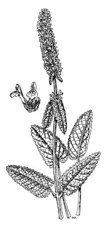 Stachys officinalis is a perennial grassland herb. Its leaves are stalked on upright stems, narrowly oval, with a heart-shaped base. Its upper lip flat, almost straight when seen from the side, vintage line drawing or engraving illustration.
