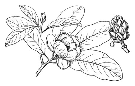 Picture shows Branch of Sweetbay Magnolia Plant along with his flower, bud and leaves. It has white flowers held singly on the branch and its leaves are obovate. There is bunch of buds on branches, vintage line drawing or engraving illustration.