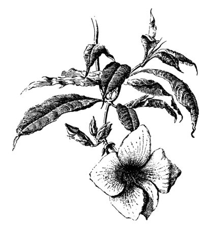 This picture is showing an allamanda flower. It is yellow color flower, it is small and rounded, and the flowers are smooth, lightly. The leaves are oval shaped, vintage line drawing or engraving illustration. Ilustração