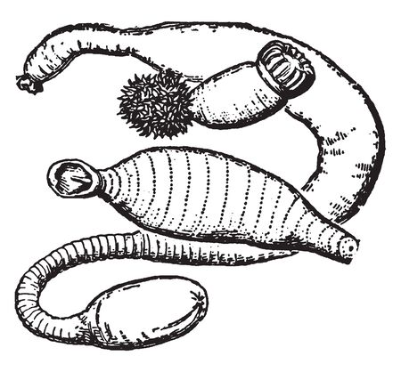 Gephyrea is a now dismantled taxon for a group of non annulated worms considered intermediate between annelids and holothurians, vintage line drawing or engraving illustration.