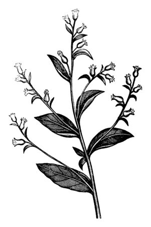 In this picture showing few small flowers are growing with big leaves, vintage line drawing or engraving illustration.