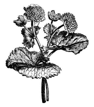 This is a branch of Caltha Pulstris Monstrosa Plena. It is a water-loving flowering plant and also known as Marsh Marigold, vintage line drawing or engraving illustration. Иллюстрация