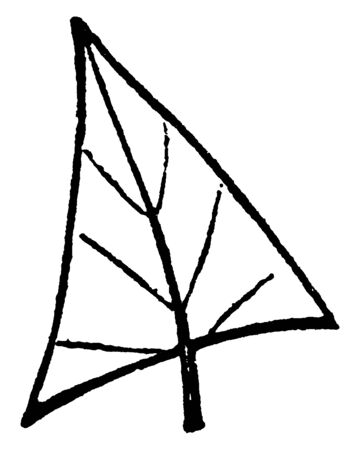 This is an image of trowel shaped leaf. this leaf is looked like trowel, vintage line drawing or engraving illustration. Illusztráció