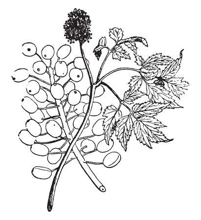 Actaea is flowering and fruits plant. These are found In Asia, vintage line drawing or engraving illustration.