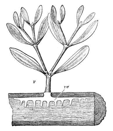 Mistletoe is a hemi-parasitic plant in the order Santalales, attached to Host Plant. It is distributed throughout Eurasia from Great Britain to northern Asia, vintage line drawing or engraving illustration. Çizim