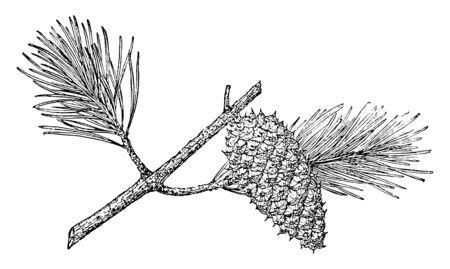 est un arbre de taille moyenne. Cet arbre préfère le limon ou l'argile bien drainé, mais poussera également sur un sol sablonneux très pauvre, où il reste petit et rabougri, dessin au trait vintage ou illustration de gravure.