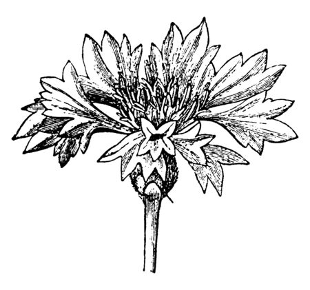 The picture showing the inflorescence of a Cornflower. It is a mode of development and arrangement of flowers on an axis, vintage line drawing or engraving illustration.