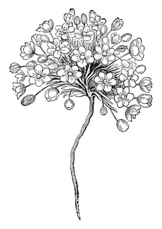 A picture of Canbia candida flowers are a reflexive white with six petals. The flowers become alone on thin stems. The plant develops around one inch high, vintage line drawing or engraving illustration.