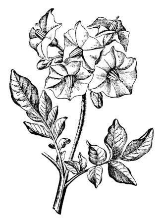 This is an image is of Inflorescence of Potato Plant. The stem of the flower cluster is at the top. The stems are hairy, vintage line drawing or engraving illustration.