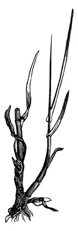 Root is thick and short. The stem is thick and long. Blade thin and long attached to stems, vintage line drawing or engraving illustration. 向量圖像