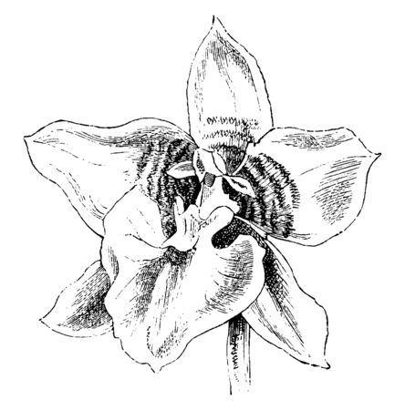 Odontoglossum Cerbantesii has an ovoid pseudobulb, between 3 and 4 inches long, from the apex of which emerge two soft-textured, erect to arching, linear to strap shaped or lanceolate leaves, vintage line drawing or engraving illustration.
