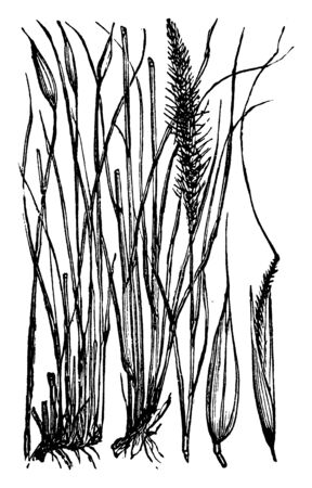 Esparto Grass is the slender, wiry grass was used for basketry, ropes. It is mostly found in southern Spain and northern Africa, vintage line drawing or engraving illustration.  イラスト・ベクター素材