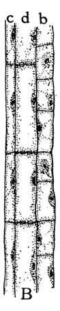 A picture showing the second stage of development of the sieve tubes, the accompanying cells and the phloem parenchyma, vintage line drawing or engraving illustration. Ilustração