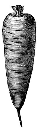 There are horizontal lines on it, the upper side is widespread, and roots are slender and blunt, the looks like a cone, vintage line drawing or engraving illustration.