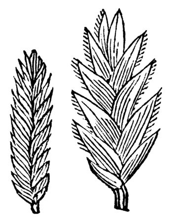 This picture showing creeping meadow grass, it's grow 6 to 5 inches long and thin, leaves are little bit long and, upper side is hairy, vintage line drawing or engraving illustration. Vectores