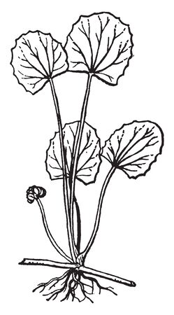 Centella is an evergreen Perennial plant. Their leaves are edible, vintage line drawing or engraving illustration.