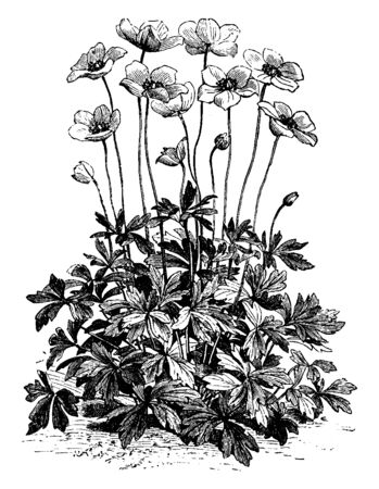 A picture is showing a flower of Anemone Sylvestris also known as Snowdrop Wildflower. The flowers of Anemone Sylvestris are pure, satin white and are very fragrant, vintage line drawing or engraving illustration.