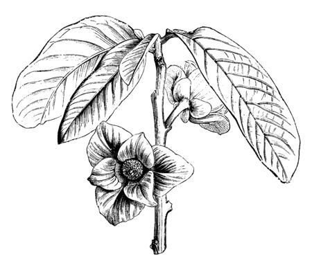 Asimina Triloba is a small deciduous tree. It is mostly found in eastern United States and Canada, vintage line drawing or engraving illustration. Stock Illustratie