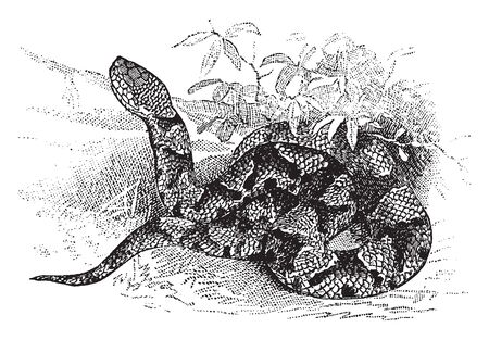 Copperhead is a snake of rather small size usualy under two feet and of a dull pale chestnut or hazel color with many blotches, vintage line drawing or engraving illustration. Ilustração