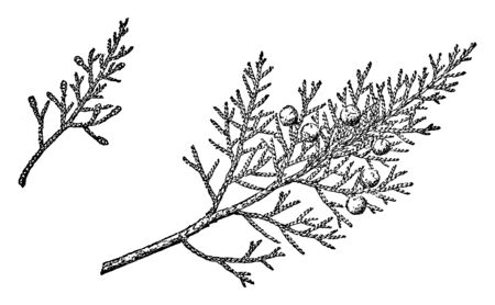 This is the picture of a twig of tree known as Juniperus Monosperma, vintage line drawing or engraving illustration.