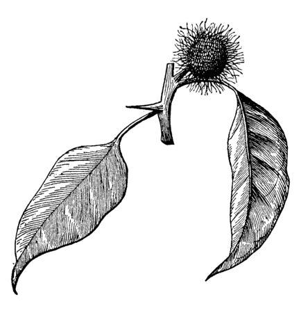A picture showing of the branch from an Osage-orange plant with female inflorescence. It has leaves in the limelight and has got orange fruit, vintage line drawing or engraving illustration.  イラスト・ベクター素材