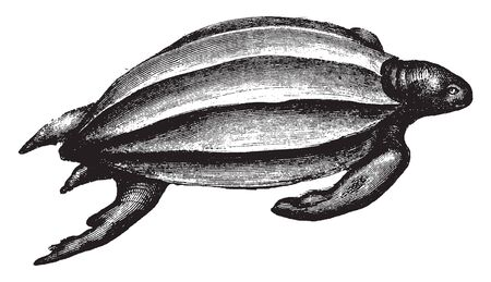Leatherback turtle is the largest of all living turtles and is the fourth heaviest modern reptile behind three crocodilians, vintage line drawing or engraving illustration.