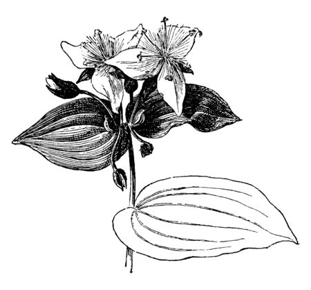 Tradescantia fluminensis is a species in Commelinaceae family. This plant spreads along the ground, and flowers are white with three petals, vintage line drawing or engraving illustration. Illustration
