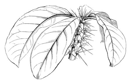 This picture is showing the large leaves and stem of plant full with thorn, vintage line drawing or engraving illustration.