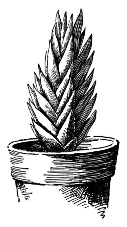 A picture shows the Apicra Pentagona plant. The flowers are a greenish color and stem are erect. The leaves are somewhat triangular and are white dotted. It is a flowering plant shown potted, vintage line drawing or engraving illustration. Ilustração