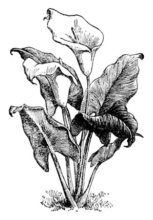 The Zantedeschia aethiopica has a large, white 'flower' that consists only of one 'petal'. The 'flower' is positioned at the top of one thick stem, vintage line drawing or engraving illustration. Ilustração