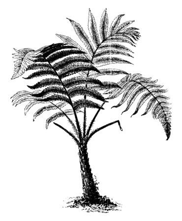 This is Hemitella Speciosa tree. It looks like a coconut tree and its trunk is strong and hard. It has Long, big and strong branches. Leaf is sharp and needle-likes edges, vintage line drawing or engraving illustration.