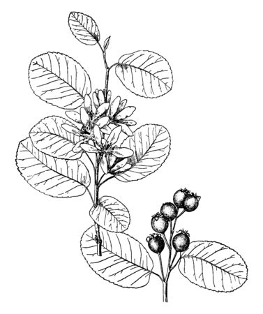 A picture shows Amelanchier Alnifolia Plant. The leaves are downy when they are young and similar to those of cherry cultivars. The fruit is black and bloomy, vintage line drawing or engraving illustr 일러스트
