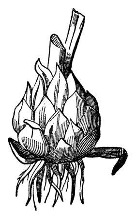 A picture of bulbous root.  The bulb is a bud of closed leaf in scales or concentric layers, vintage line drawing or engraving illustration.