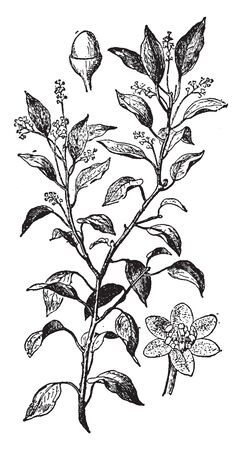 Camphor is a white straightforward waxy crystalline strong with a solid infiltrating impactful sweet-smelling scent, vintage line drawing or engraving illustration. Illusztráció