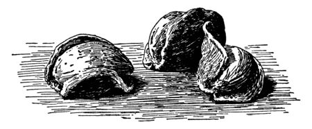 Almonds have a hard coating outside and there is a seed inside, vintage line drawing or engraving illustration.