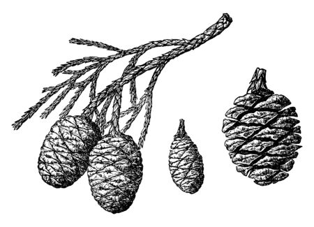 This is the branch of sequoia Gigantea fruit. It looks like a pineapple fruit. it has no leaves. it has the branches of tiny fibers and these are sharp-toothed, vintage line drawing or engraving illustration. Illustration