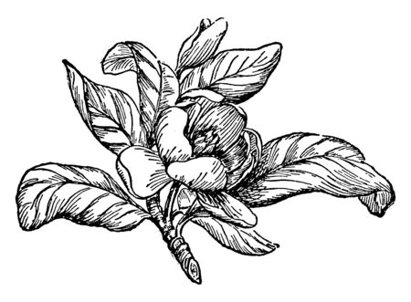 It is a magnolia flower whose leaves are spread, vintage line drawing or engraving illustration.