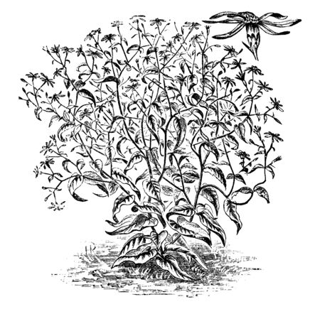 Aster corymbosus is a dense leaves plant, densely hairy branches. The branches are divided into lower trunk, vintage line drawing or engraving illustration. Иллюстрация