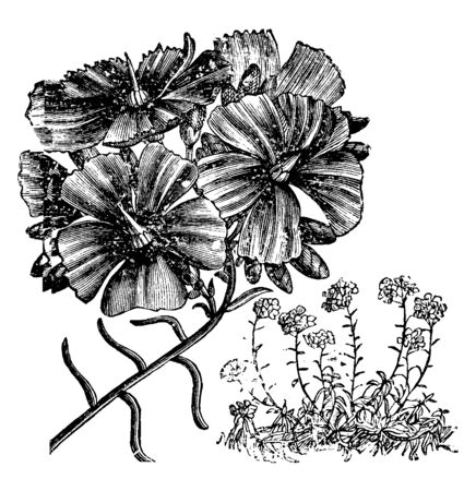 This is a flowering branch of Calandrinia Umbellata. Flowers have brilliant magenta-crimson color and bright green leaves, vintage line drawing or engraving illustration.