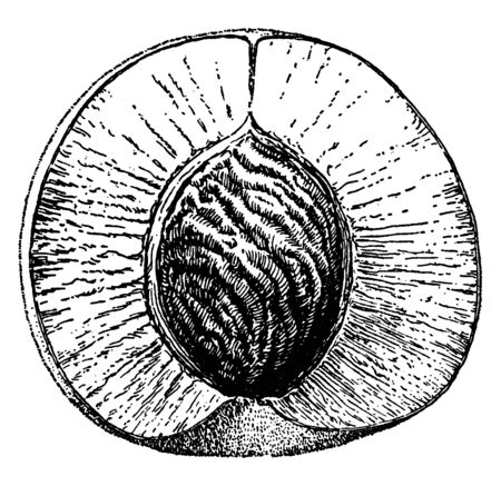 The peach is a deciduous tree. It is mostly found in Northwest China between the Tarim Basin, vintage line drawing or engraving illustration. Иллюстрация