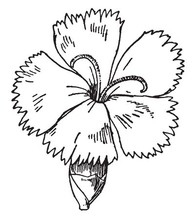 The picture showing Caryophyllaceous (pink). Flower has five petals with toot-head. Its a tabular flower, vintage line drawing or engraving illustration.