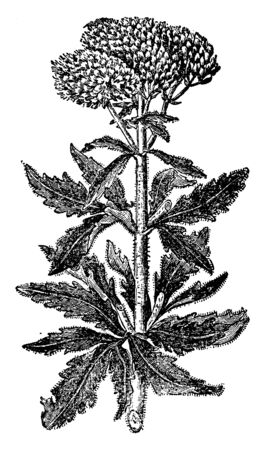 A picture is showing Eupatorium Cannabinum, also known as hemp-agrimony. This is a herbaceous plant, which belongs to daisy family. It is native to Europe. Flower heads are tiny and wooly, vintage line drawing or engraving illustration.
