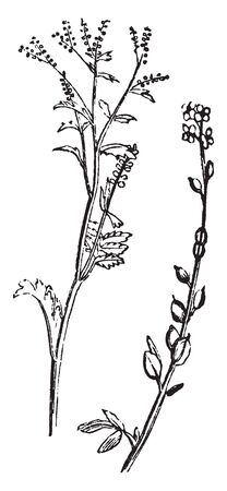 Cress or Lepidium sativum name belongs to many plants, the foliage has a pungent, mustard-like taste, and used as a salad, vintage line drawing or engraving illustration.