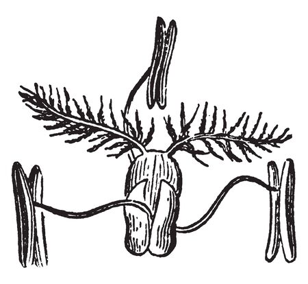 This is a grass flower. The both side growing anther and upper side grow stigma, vintage line drawing or engraving illustration.