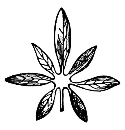 A image of predate leaf. A leaf having the divisions like toes, vintage line drawing or engraving illustration.
