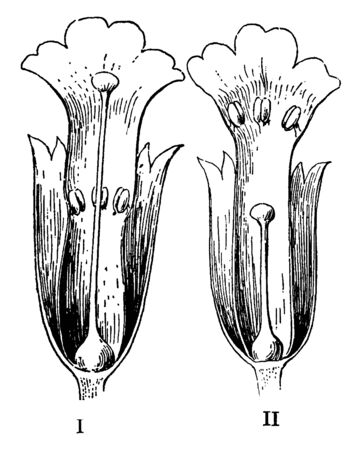 A picture showing two Dimorphous flowers of the primrose of which one is long-styled and the other short-styled one, vintage line drawing or engraving illustration.