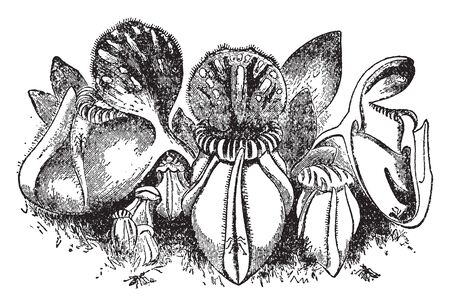 Cephalotus is a small, ornamental plant which traps and eats insects. This plant produces a clump of thumb-size pitchers, vintage line drawing or engraving illustration. Illustration