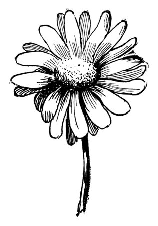 A picture is showing Daisy. It is native to the New Zealand. These flowers are white and petals are rectangular, vintage line drawing or engraving illustration.