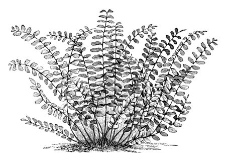 A picture showing Asplenium Trichomanes. This is commonly known as maidenhair spleenwort. The fronds are long and narrow, gradually tapering towards the tip. It grows in tufts from a short rhizome, vintage line drawing or engraving illustration.